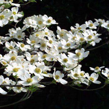 Cornus Florida Tree Dogwood Trees White Blossom Tree Florida Trees