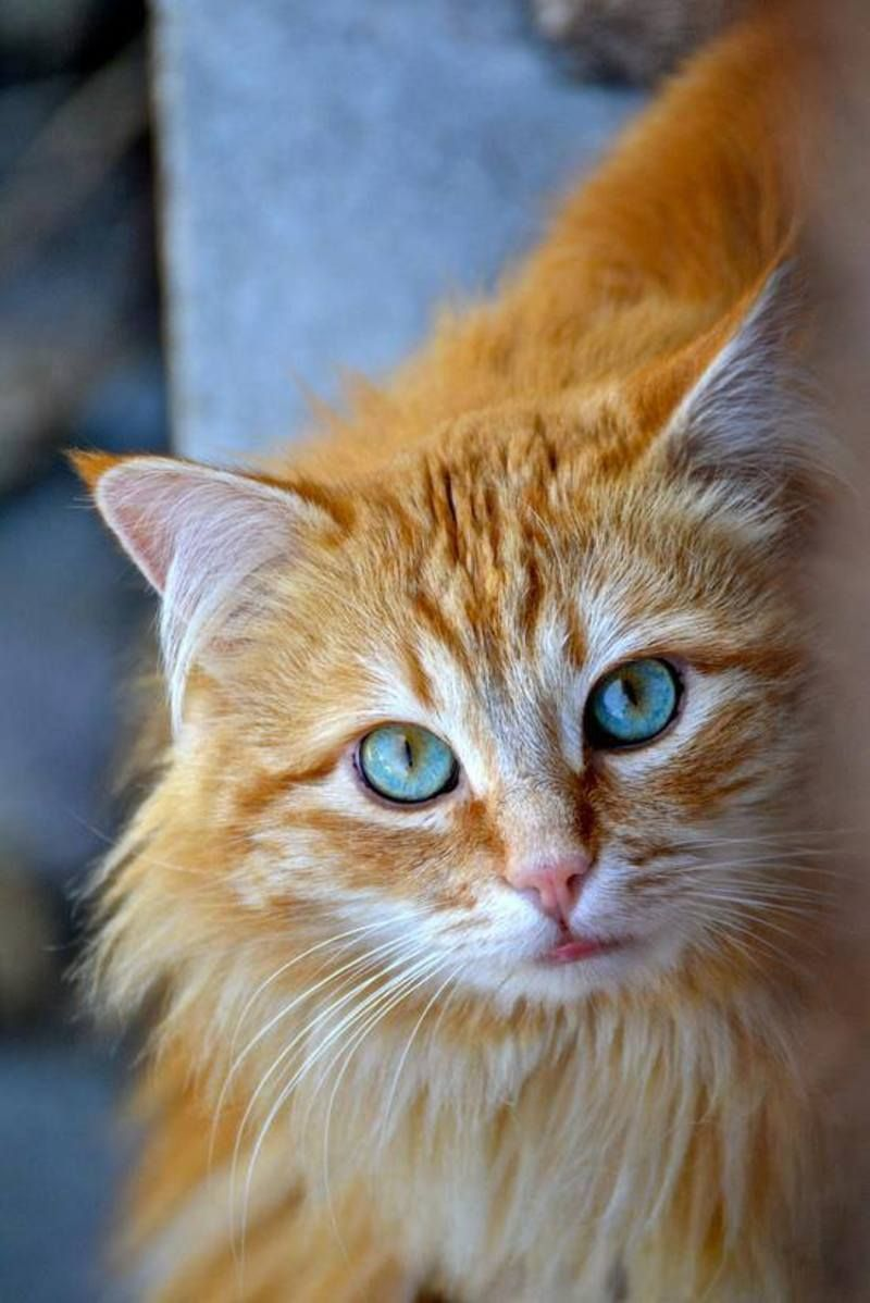 Beautiful longhaired orange and white cat with