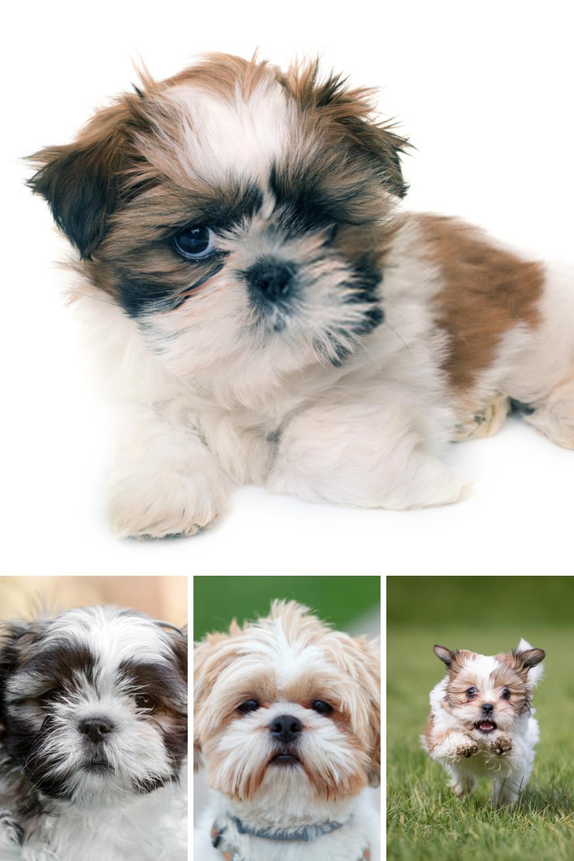 Shih Tzu Puppy Shih Tzu Dog Shih Tzu Puppy Shih Tzu Dog Pet Dogs Photos