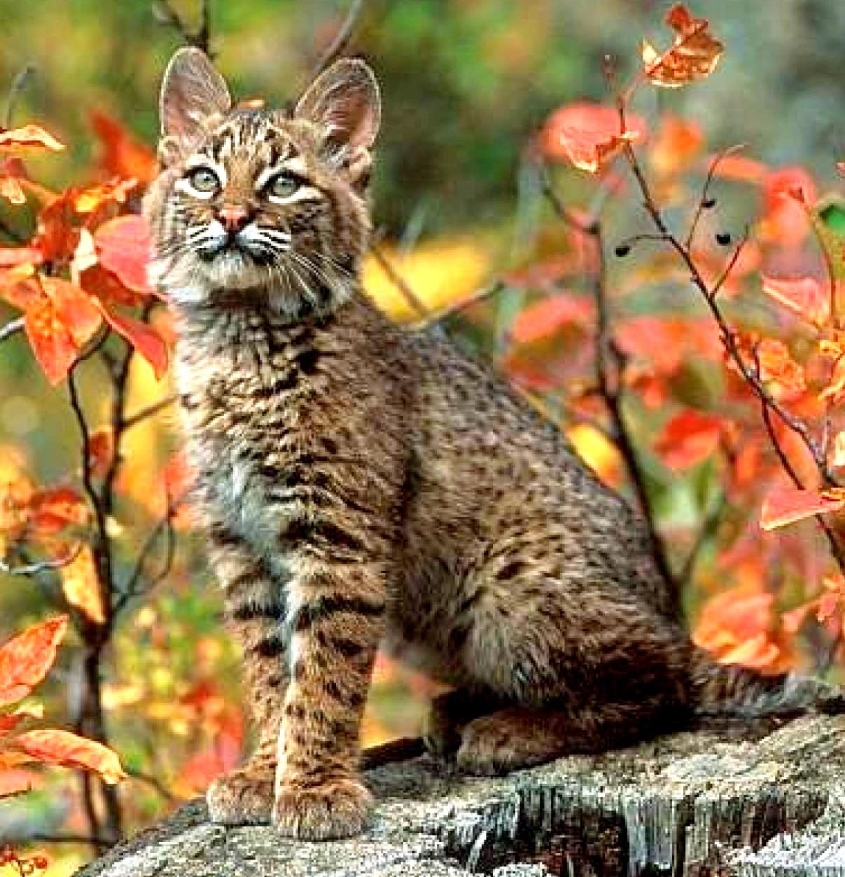 Andean Mountain / Highland Cat one of the rarest of wild