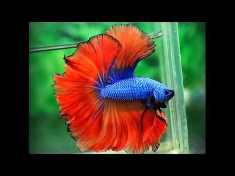 Los 10 peces m s bonitos para tener en una pecera for Peces para pecera