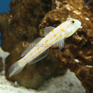 Diamond Watchman Goby Will Definitely Have One Of These Sand Sifter Salt Water Fish Saltwater Tank Marine Fish