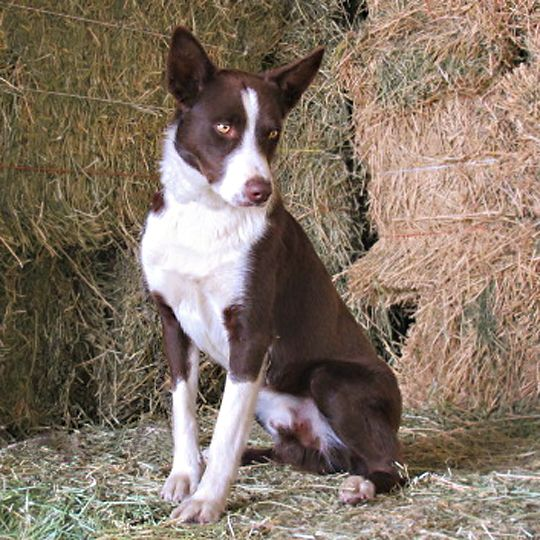 Pin By Lucia Bradley On Bugs And Cinch S Puppies Mcnab Dog Collie Border Collie