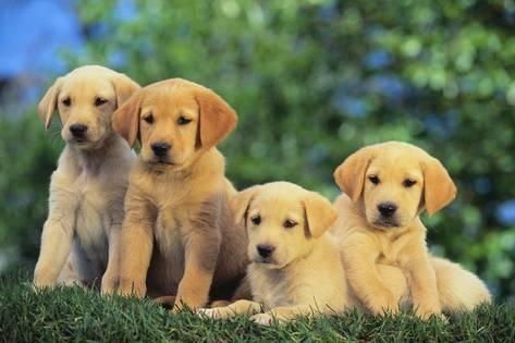 Lab And Golden Retriever Puppiesby Dlillc Products Yellow Lab