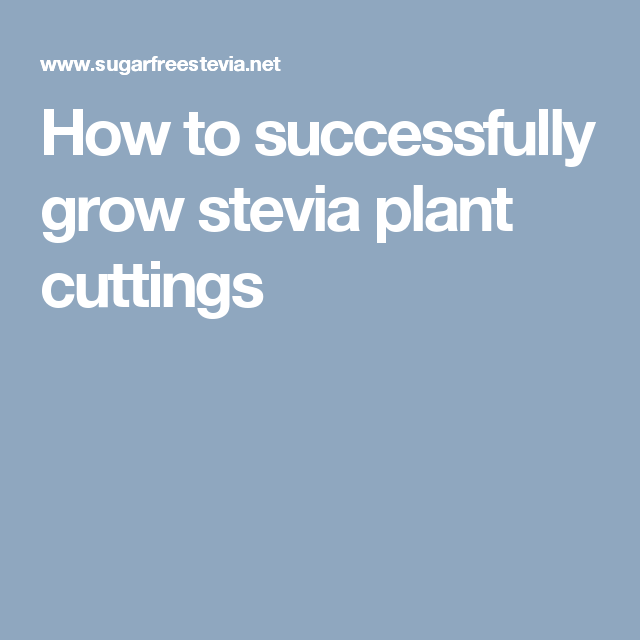 How to successfully grow stevia plant cuttings