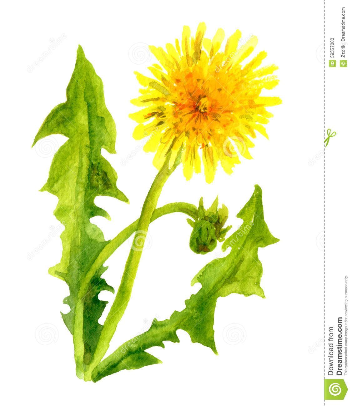 Image Result For Yellow Dandelion Watercolor Paintings Dandelion Painting Dandelion Flower Dandelion Art