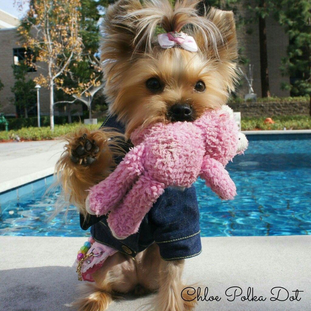 Awww..she has her baby #yorkshireterrierpuppy | Lucy ...