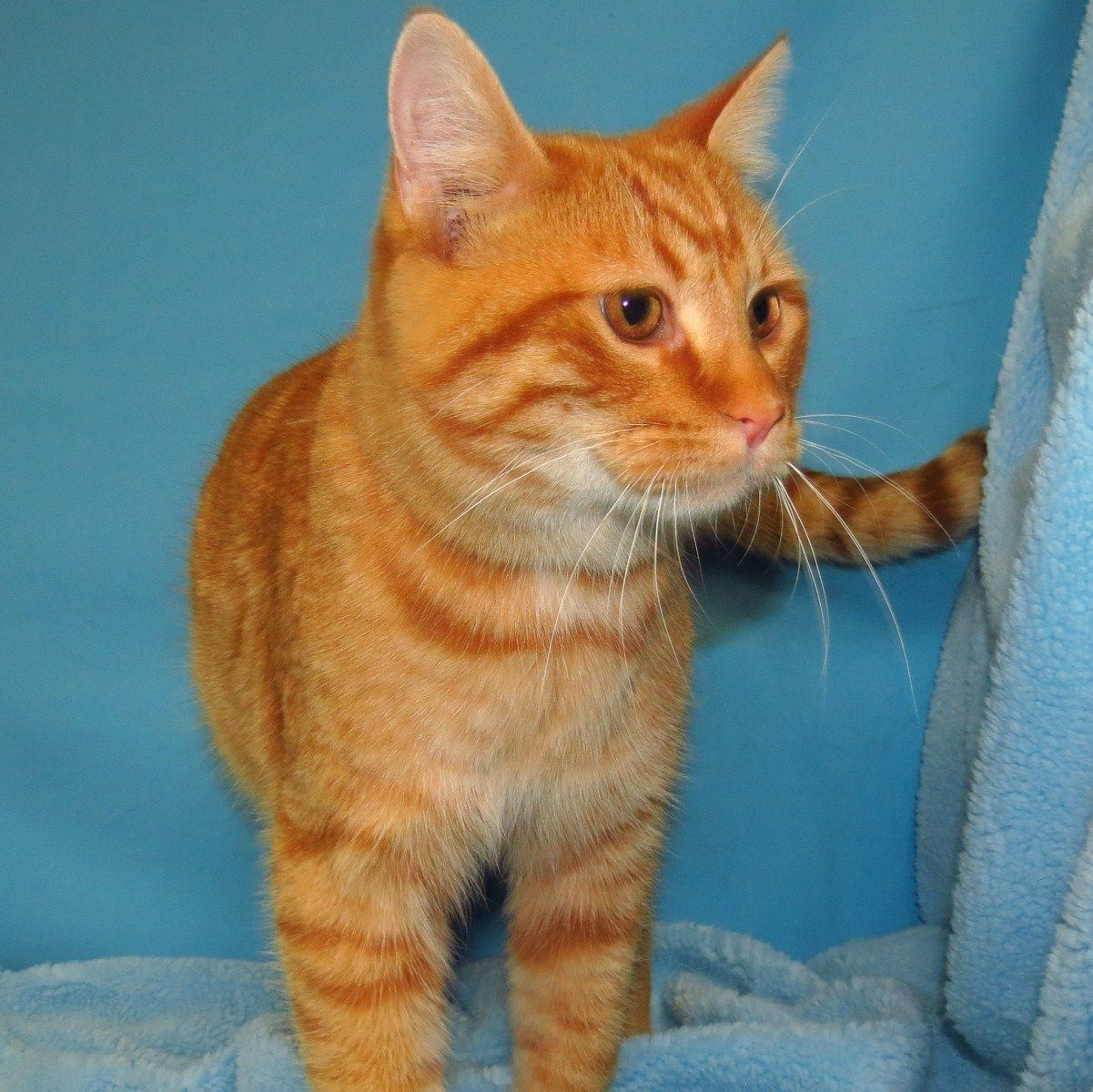 Frederick 1777 Neutered male orange tabby cat available for