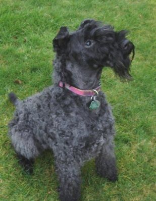 Kerry Blue Terrier Kerry Blue Terrier Terrier Dogs For Sale