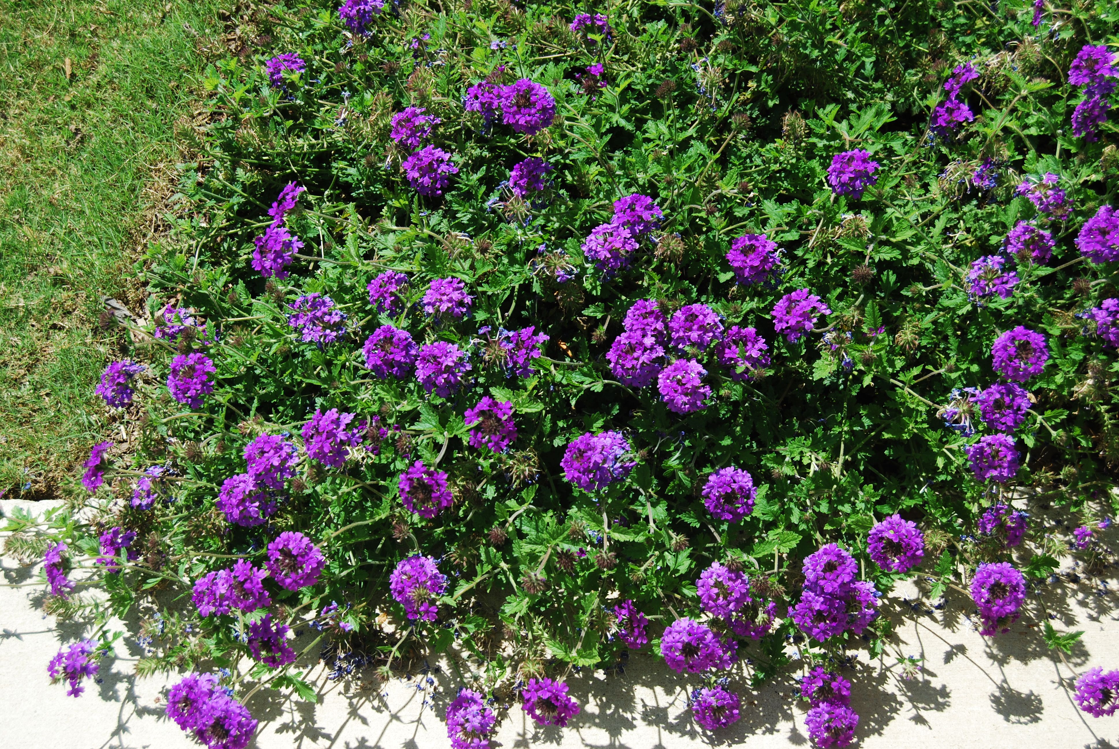 Picture of Live Verbena (violet purple) aka Verbena 'Homestead Purple' Plant Fit 1 Gallon Pot