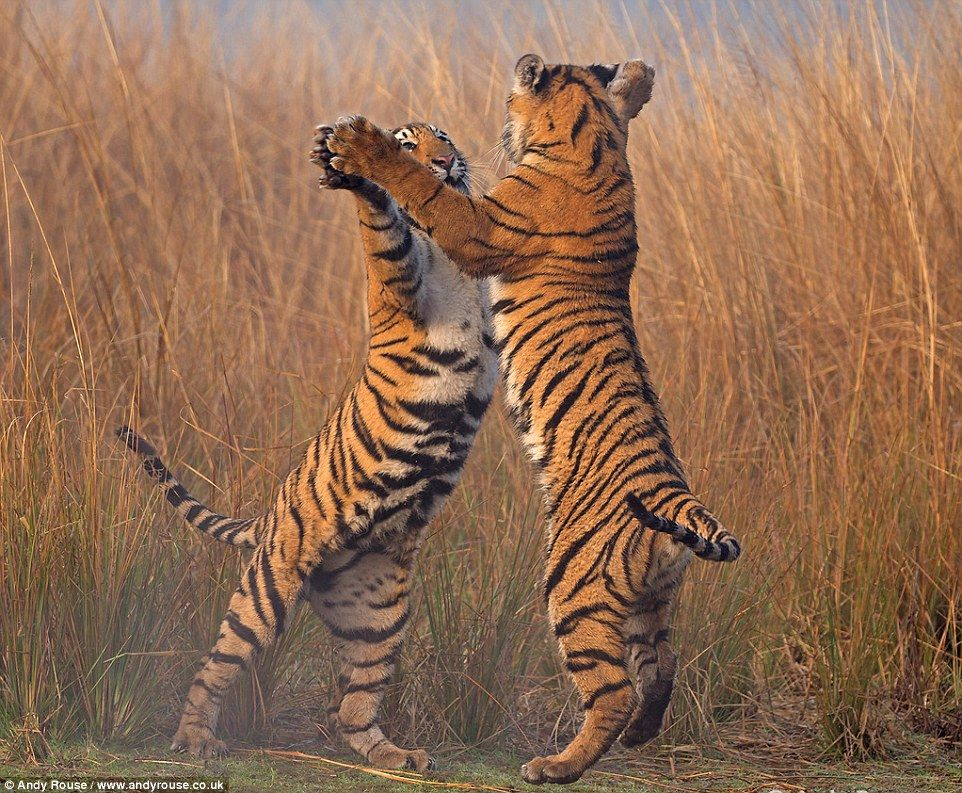 Take your partners for the tigerfeet twostep Cubs