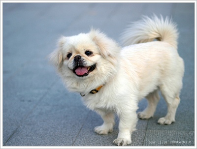 The Canine Roommate Top 10 Best Dog Breeds For Apartment Living Dog Breeds Best Dog Breeds Pekingese Dogs