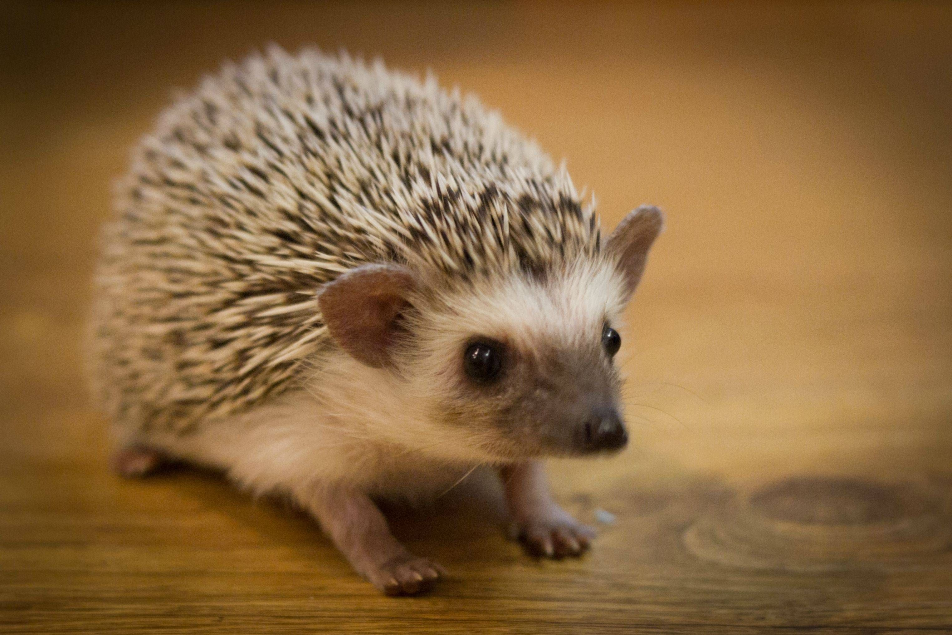 Hedgehog Pet Price >> A Pet Hedgehog Called Sushi All Things Fluffy Hedgehog