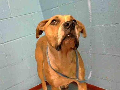 Atlanta, GA Black Mouth Cur. Meet CHOPPER a Dog for