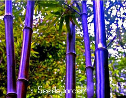 new seeds 201660 pieceslot rare purple bamboo seeds decorative garden lucky bamboo - Bamboo Garden 2016