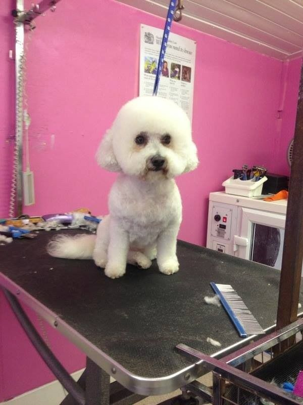Pin By Colin Taylor Academy On Bichon Frise Bichon Frise Dog Grooming Bichon