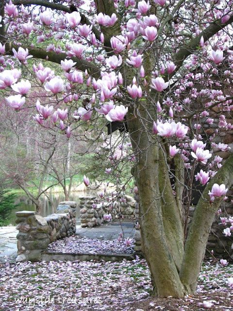 Have A Nice Size Magnolia Tree In Front Yard And So Pretty In The