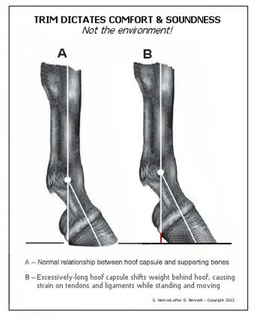 Excessive Hoof Length Illustration Hooves Horse Riding Tips Horse Information