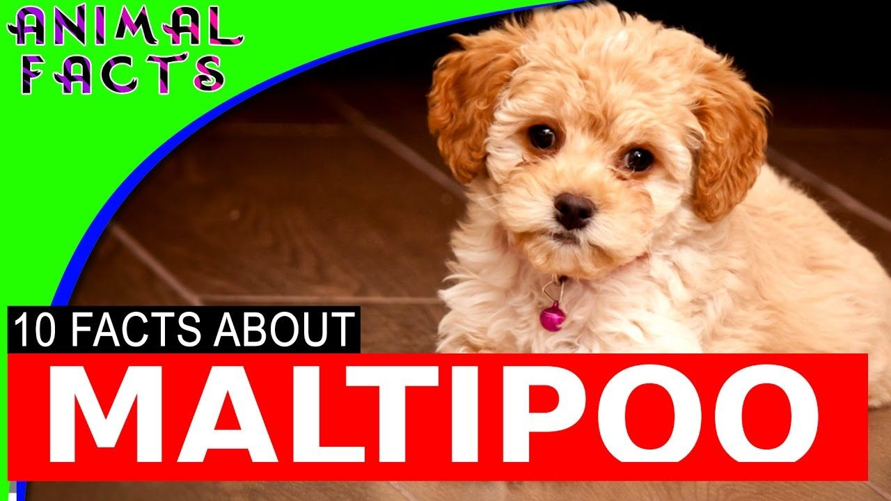 Maltipoo Dogs 101 Goldenacresdogs