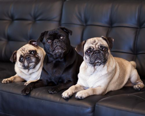 Pin On Dfw Pug Rescue North Texas Giving Day