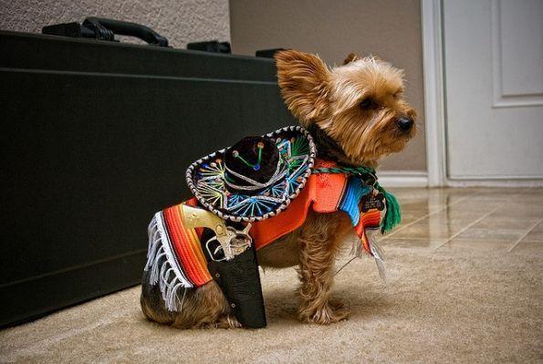 Cinco De Mayo Yorkie Dress Up Dog Costumes Yorkie
