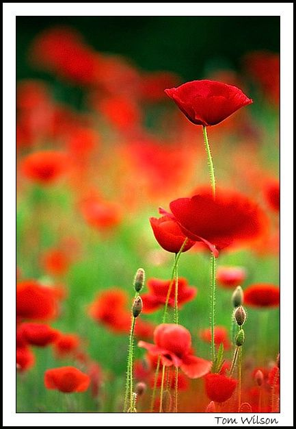 Over Opiated.  I love poppies. I mean, I really LOVE poppies...for a lot of reasons.