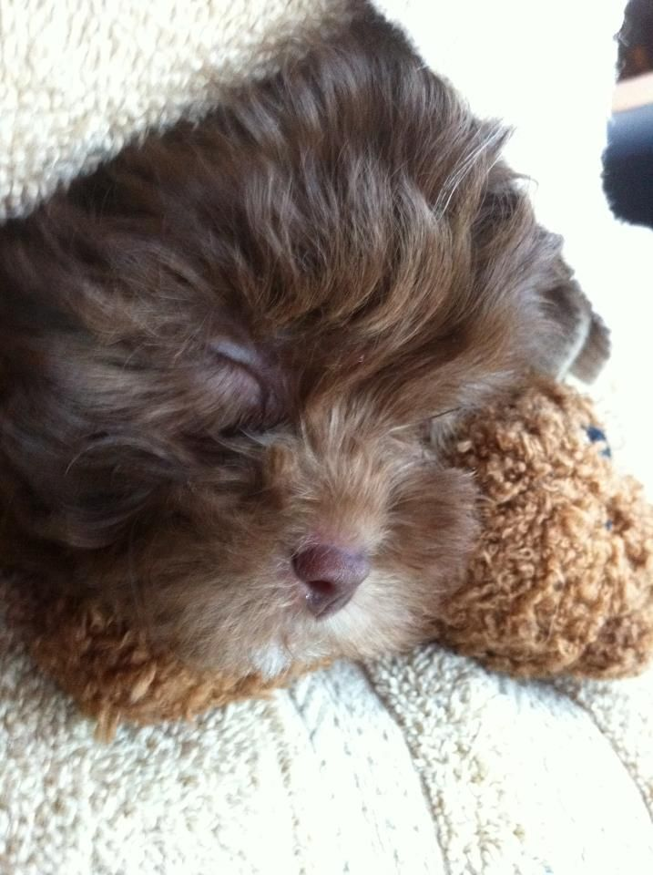 My Chocolate Maltipoo Puppy Maltipoo Puppy Cute Animals Maltipoo