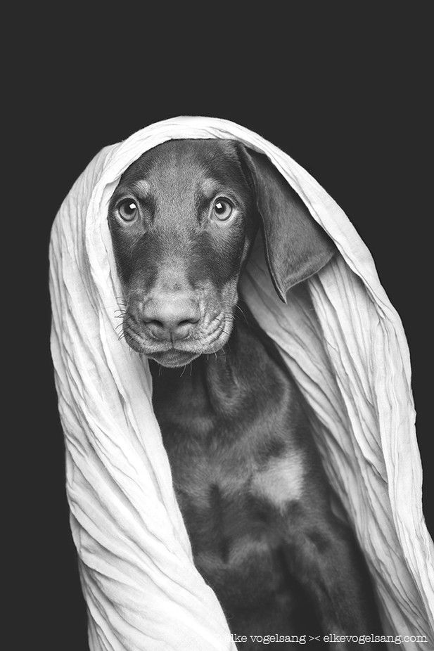 Moko, the doberman puppy (mit Bildern) Dobermann, Hunde