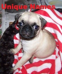 Unique Dog Names For A Pug Dog Names Pugs Dogs