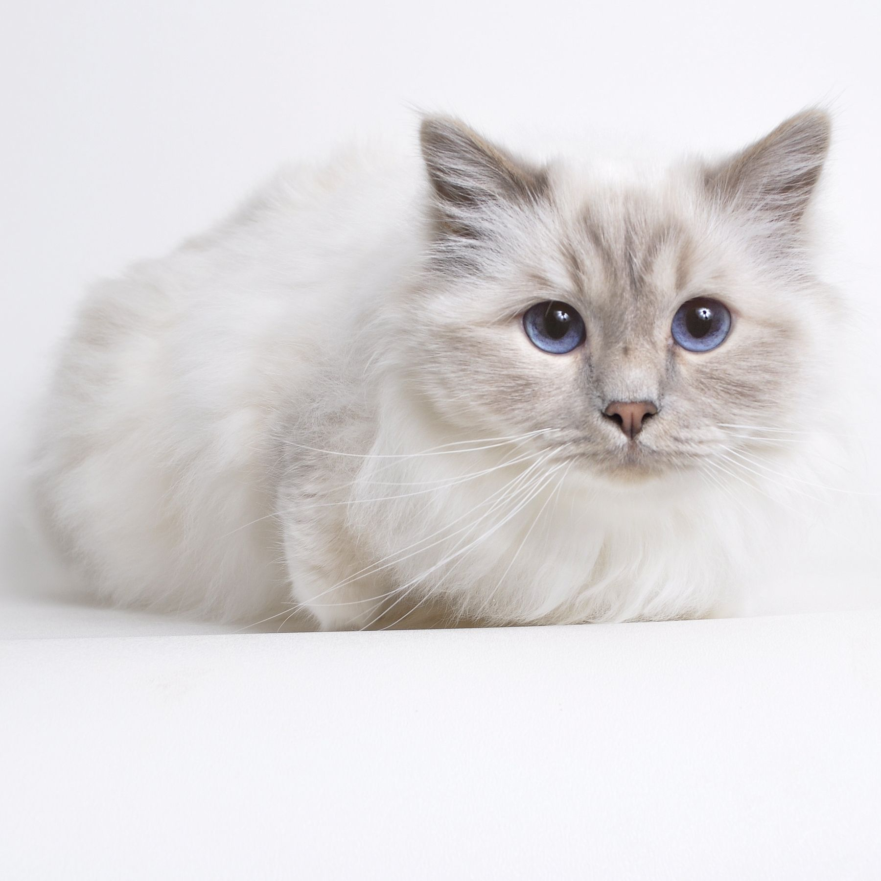 Adopt Louis Tennessee On Pretty Cats Ragdoll Cat Animals