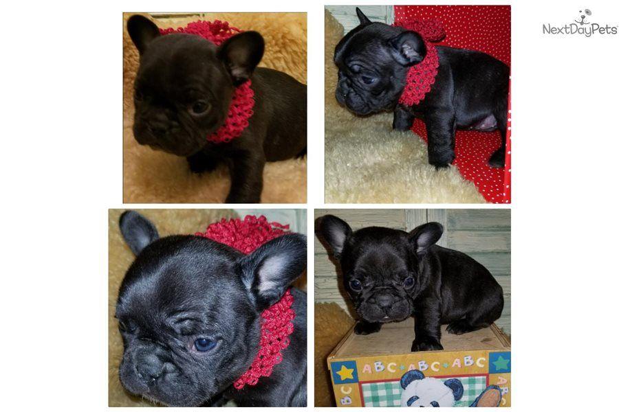 Chula French Bulldog puppy for sale near Houston, Texas