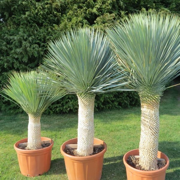 yucca rostrata culture champ plant pinterest sud de la france plantation et le sud. Black Bedroom Furniture Sets. Home Design Ideas