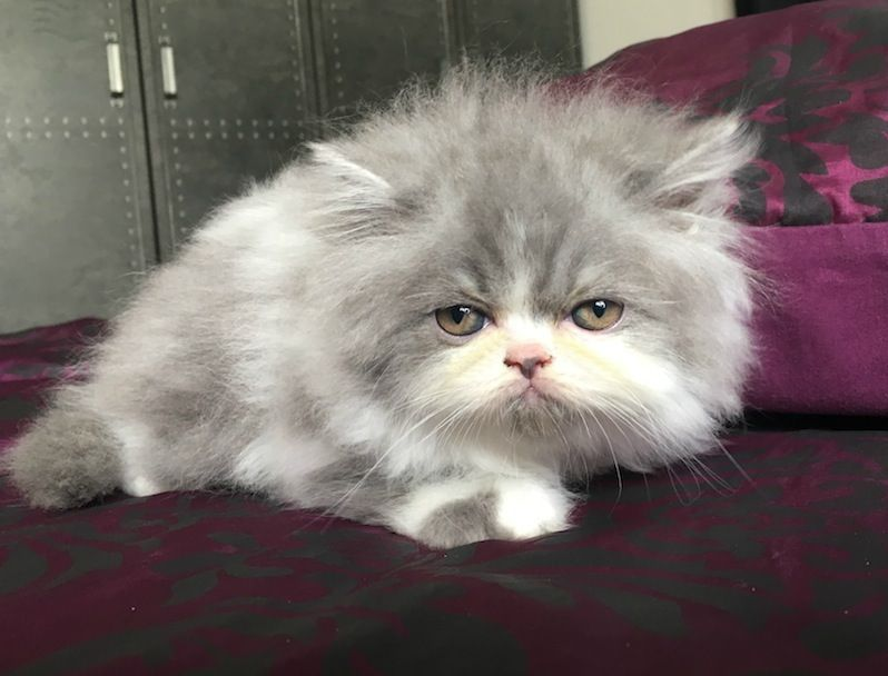 Pin On 2016 Kittens Sweetharmony S Persians Exotic Shorthair