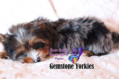 About Yorkshire Terrier Exotic Coat And Eye Colors Exotic Yorkies