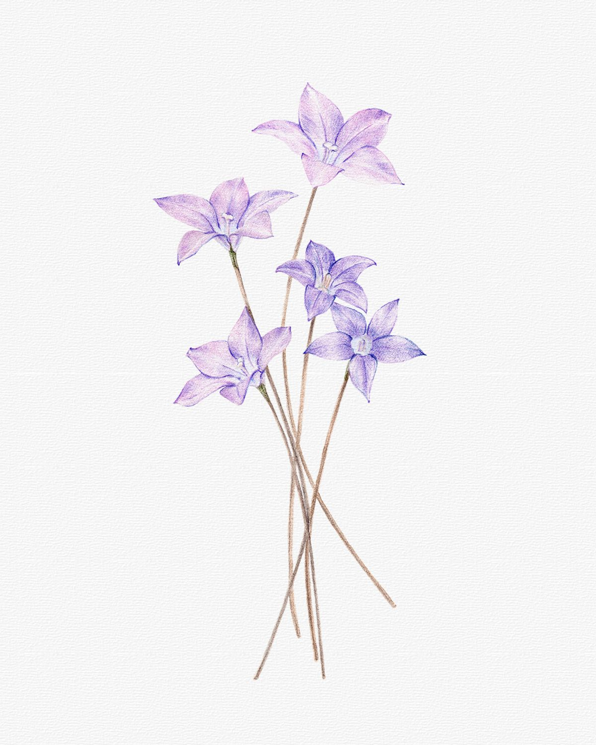 { ROYAL BLUEBELL } Wahlenbergia gloriosa, commonly known