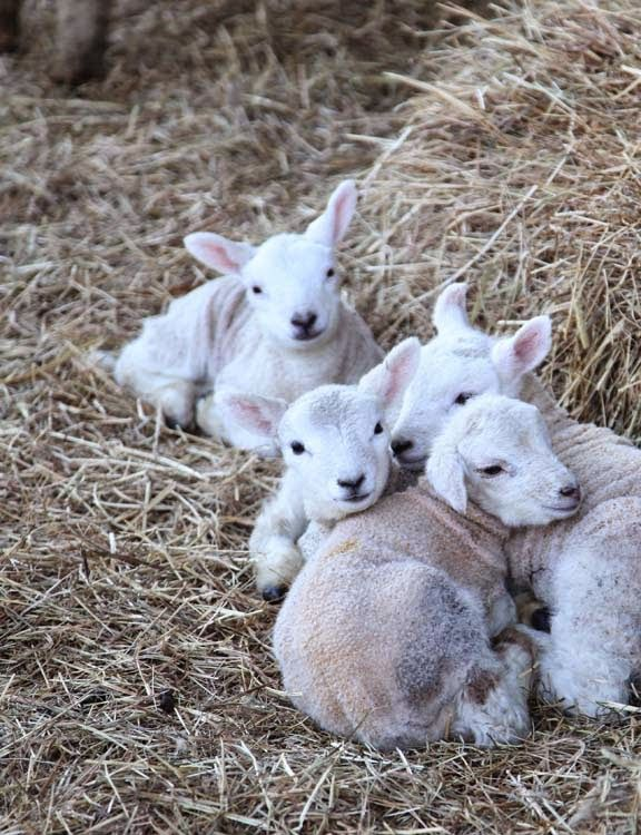 Lambing is Full Speed Ahead + Thank You!