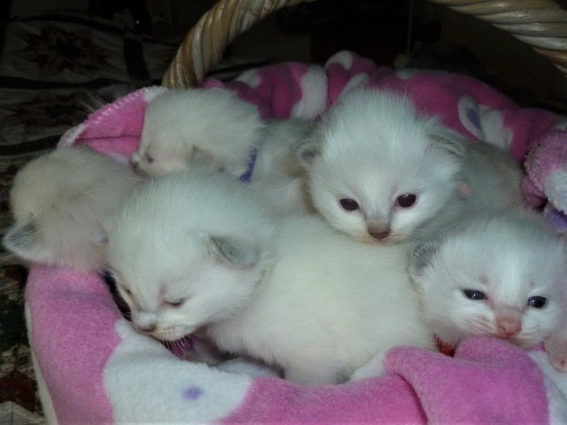 Beautiful Three Quarter Ragdoll Kittens For Sale Adoption In New Zealand Adpost Com Classifieds New Zealand 59492 Beautiful Three Quarter Ragdo Kitten For Sale Ragdoll Kitten Ragdoll Kittens For Sale