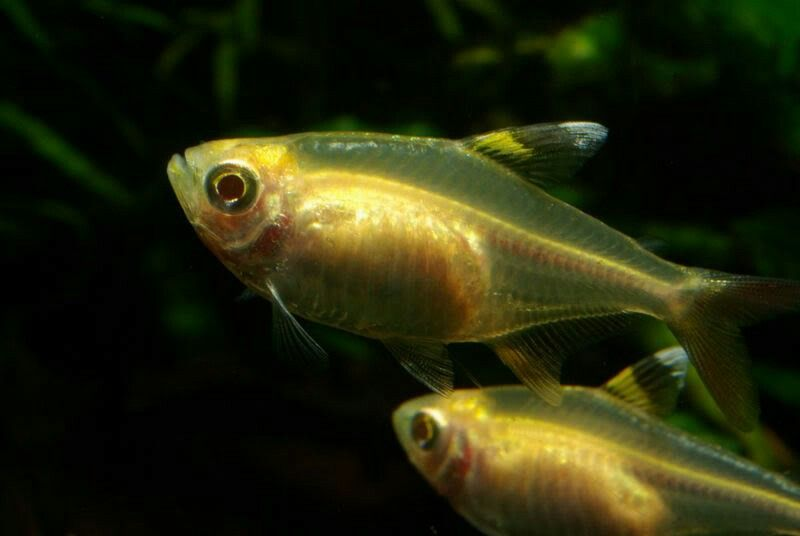 Gold Pristella Tetra Fish Pet Freshwater Fish Fish