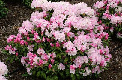 Rhododendron Crete Rhododendron Beautiful Gardens Plants