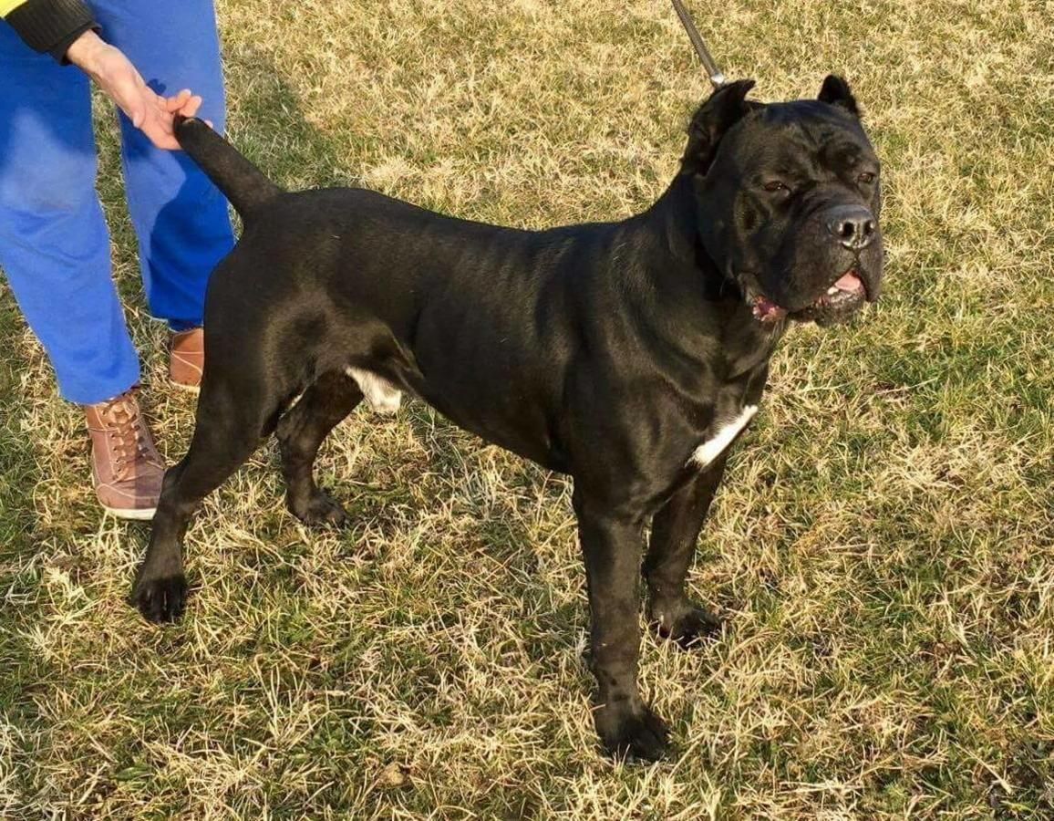 He Was Not Born In Usa He Was Directly Imported From Europe Black In Color Ears Crop Cane Corso Cane Corso For Sale Cane Corso Kennel