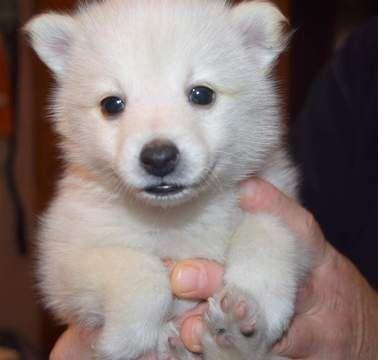 Pomeranian Siberian Husky Mix Puppy For Sale In Mankato Mn Adn 22150 On Puppyfinder Com Gender Female Age 5 W Puppy Facts Pomeranian Puppy Cute Pomeranian