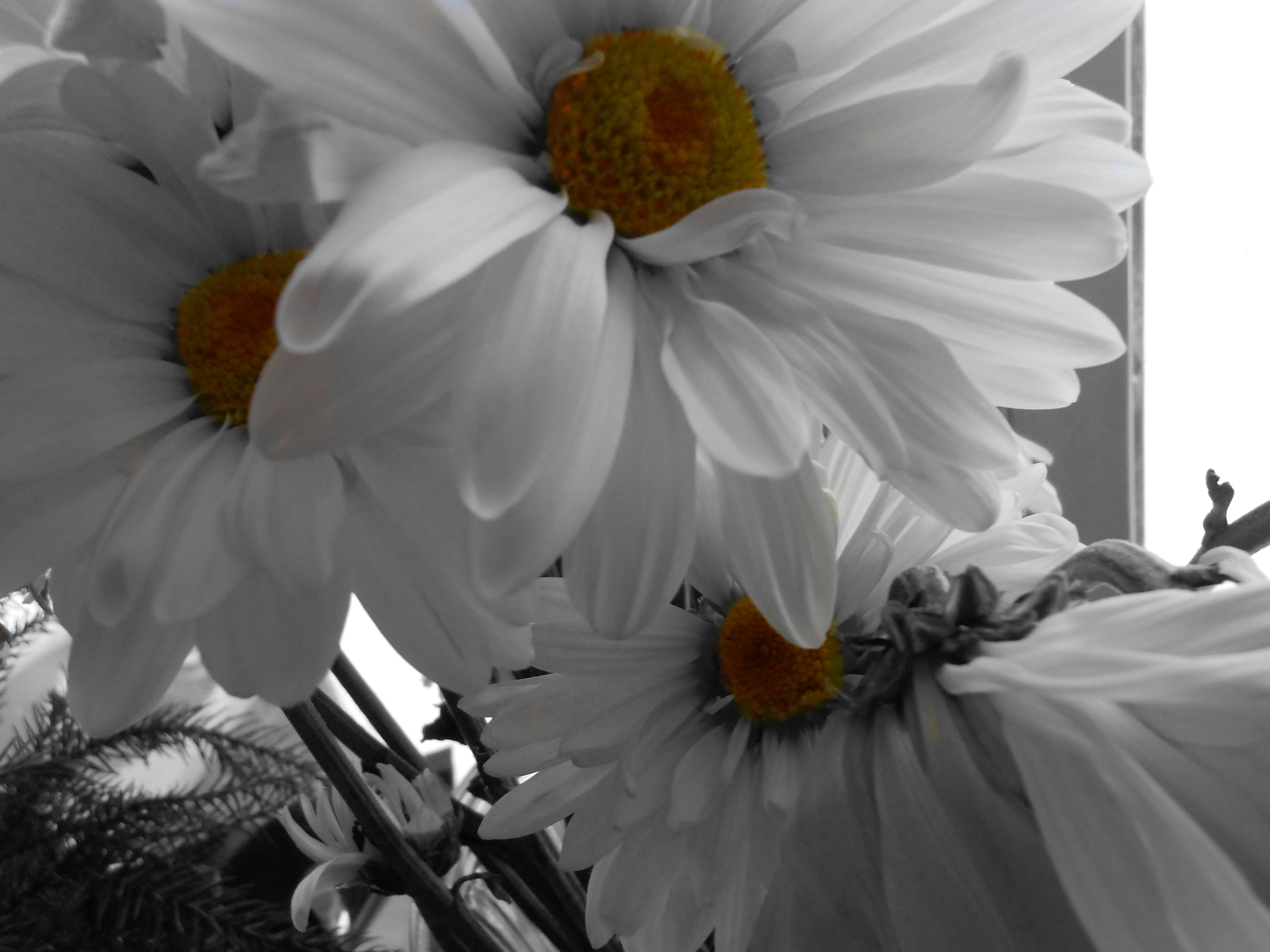 Black and white daisies with a pop of color in the middles assignment 6