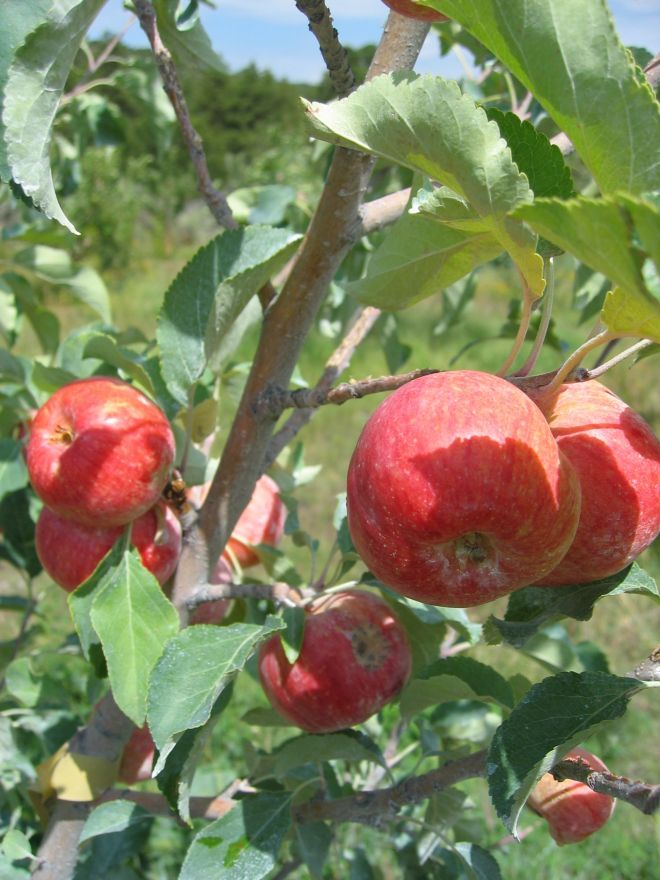 Gala Apple Tree (With images) Apple garden, Fruit plants