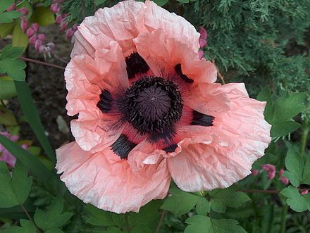 Papaver orientale wikipedia the free encyclopedia garden explore pink poppies poppy flowers and more mightylinksfo
