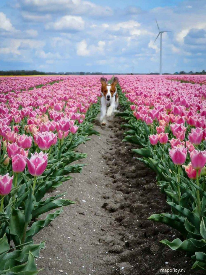 Most beautiful tulip fields in the Netherlands