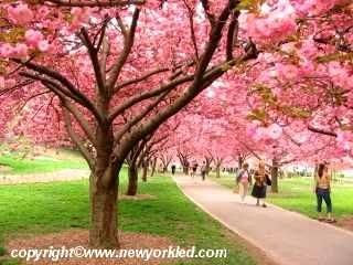 Brooklyn Botanic Garden So Pretty When The Cherry Blossoms Are In Bloom Blooming Trees Spring Blooms Pretty Trees