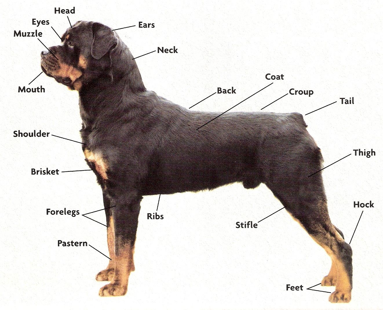Rottie Anatomy With Images Rottweiler Puppies Rottweiler