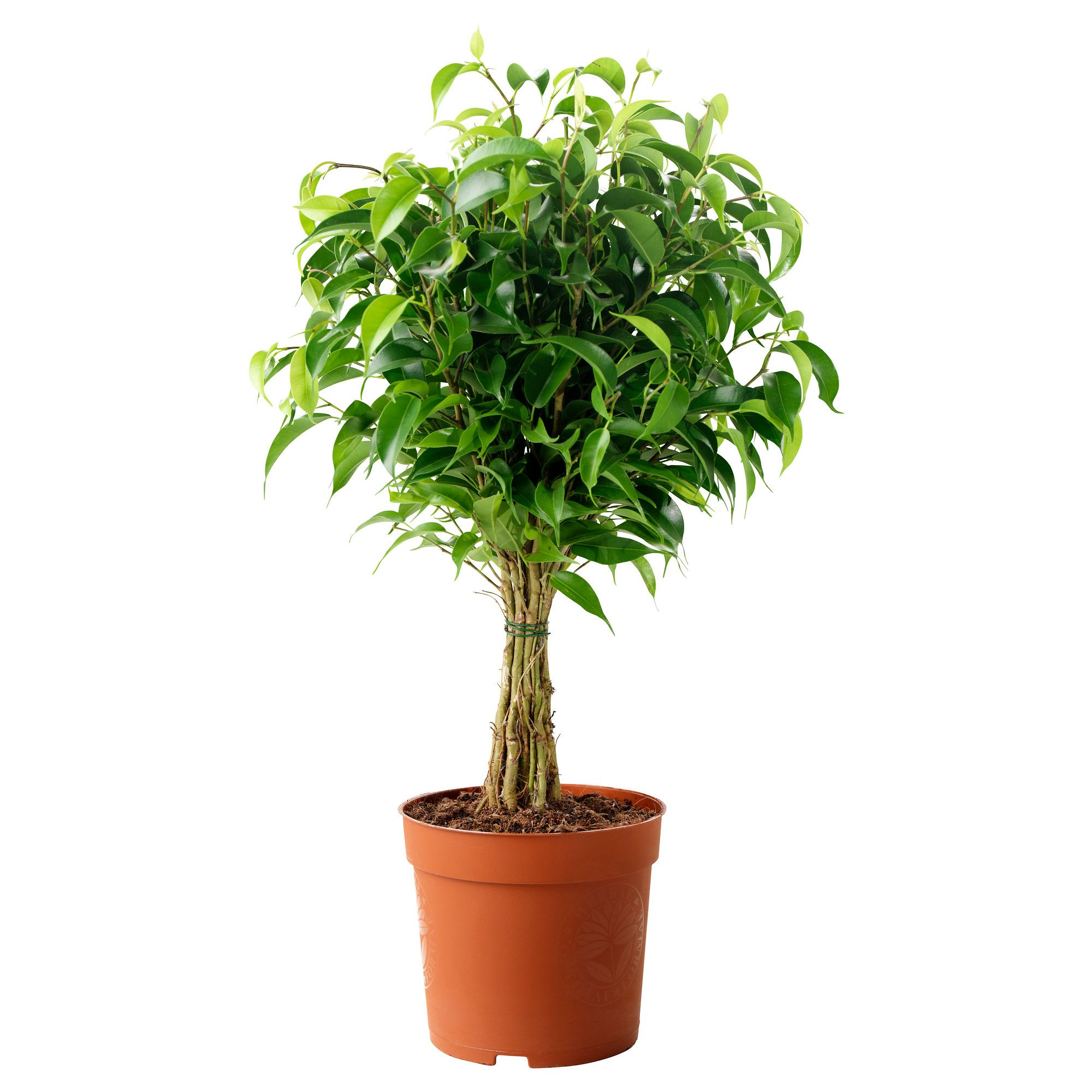 Ficus /'Natasja/' Crazy Tree in a 12cm pot