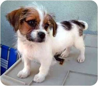 My Baby Jack Russell Shih Tzu Jack Russell Cute Dogs Shih Tzu
