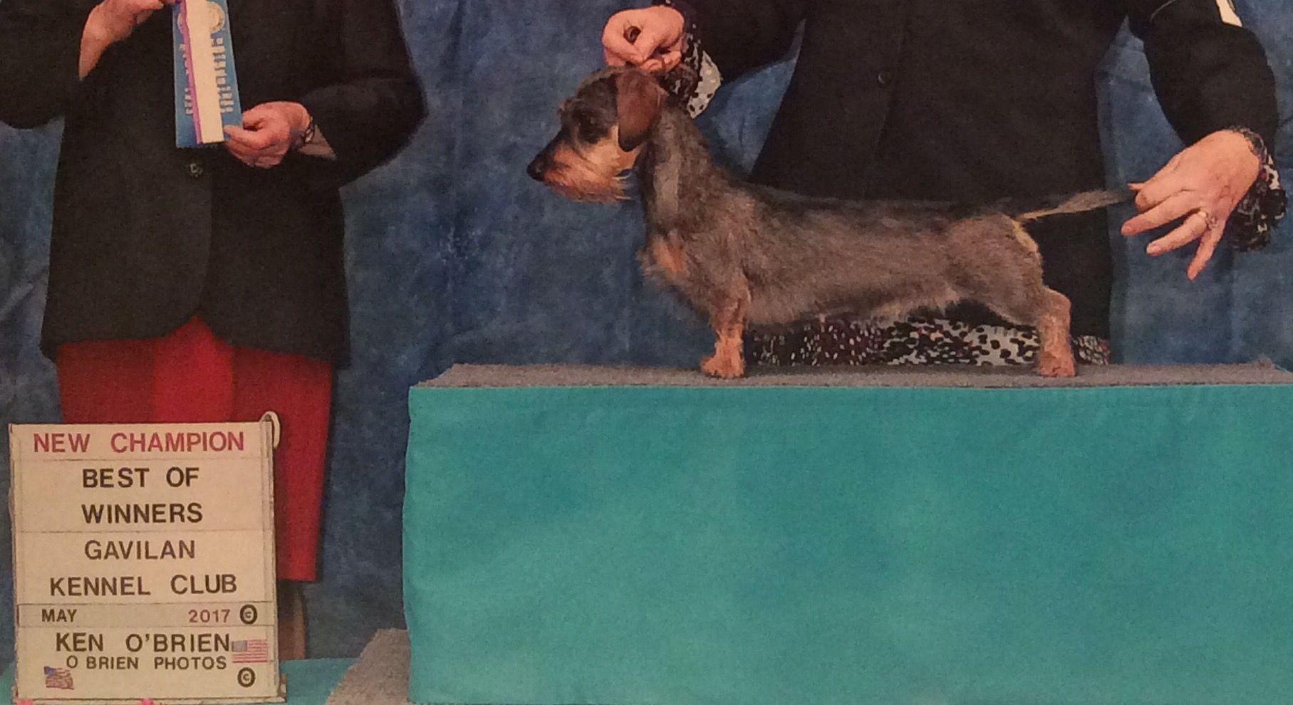 My Parksy Is A Champion Daschund Dachshund